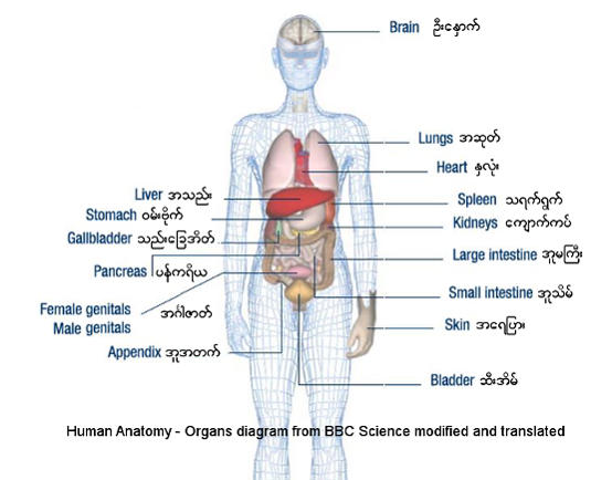 Names of physical body parts and illness in burmese language human anatomy internal organs ccuart Images